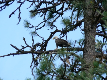 Bald eagle above a friend's cabin on Coeur d'Alene Lake in Idaho.
