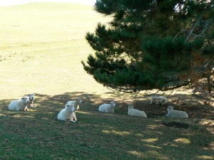 Book shepherding can lead you to a restful place and green pastures for your book. I snapped this photo of super comfy sheep on the Alexander Farm, aka the Hobbiton movie set, in New Zealand in 2008.