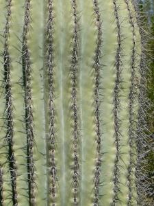 Saguaro cactus, @2010 ANVidean